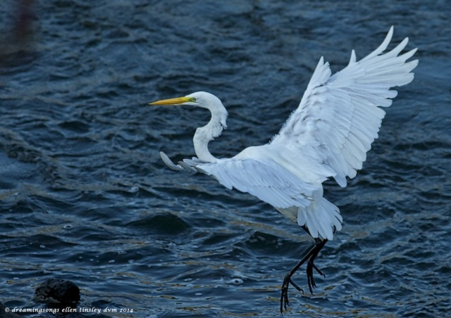 _RK_5301 great egret landing2014