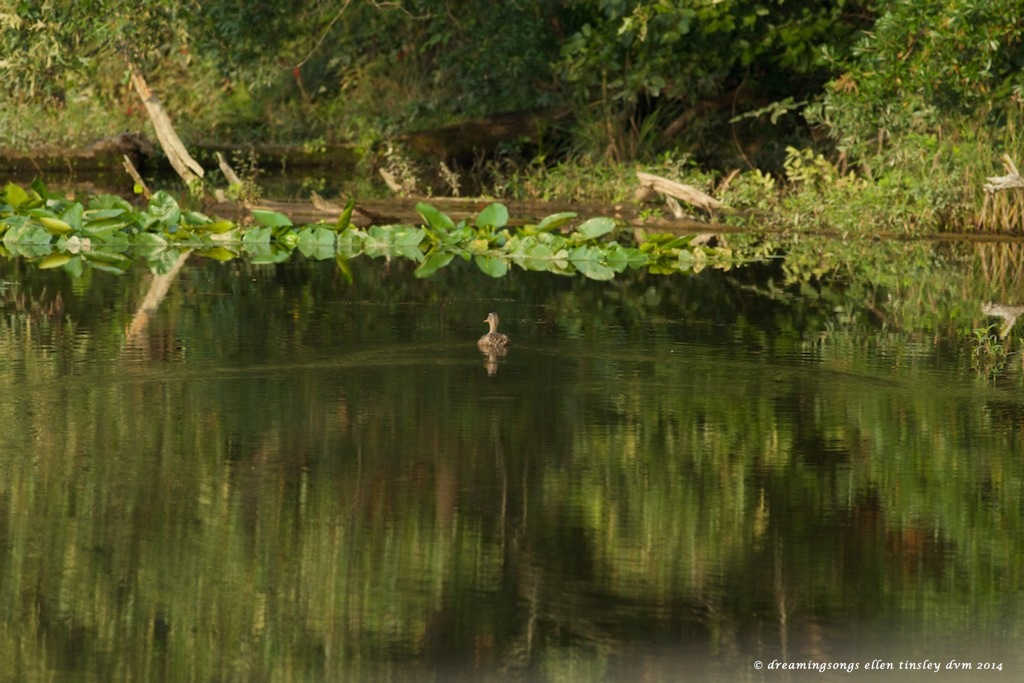 _RK_7062 mallard swimming away medium 2014