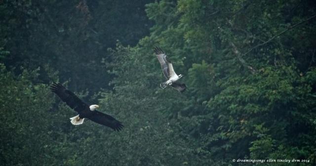 _RK_7413 - Version 2 eagle osprey chase 2014