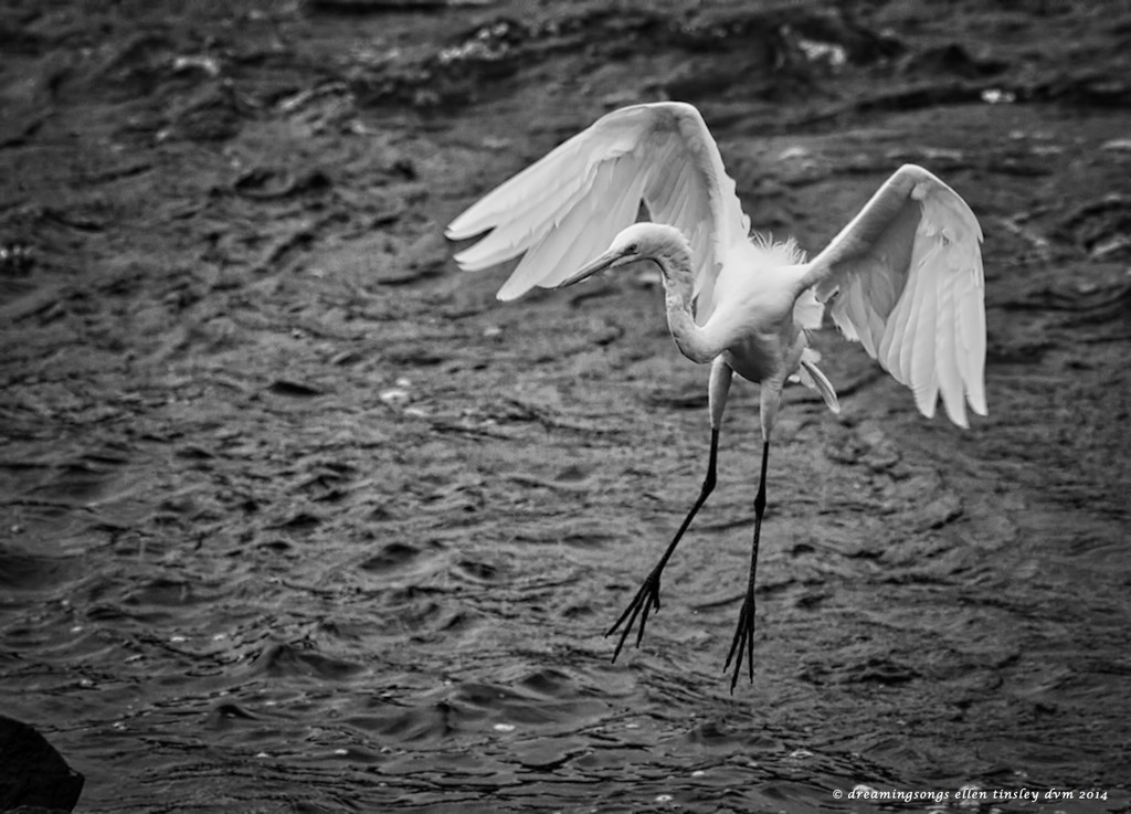Black and white egret - photo#12
