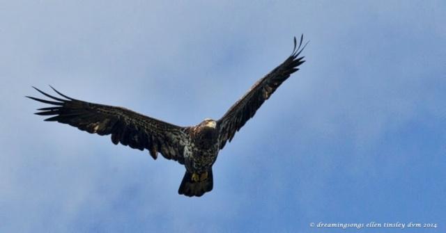 _RK_0831 2 yo eagle Poe Ridge 2014