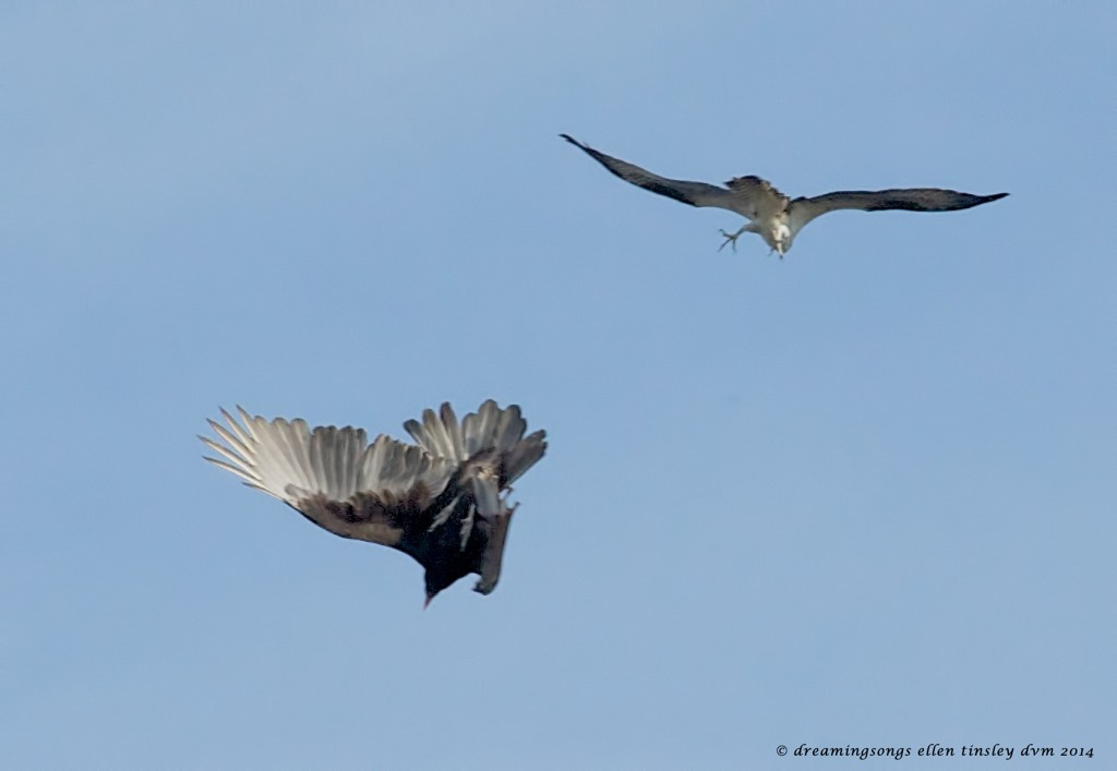 _RK_1266 Cadet and vulture 2014