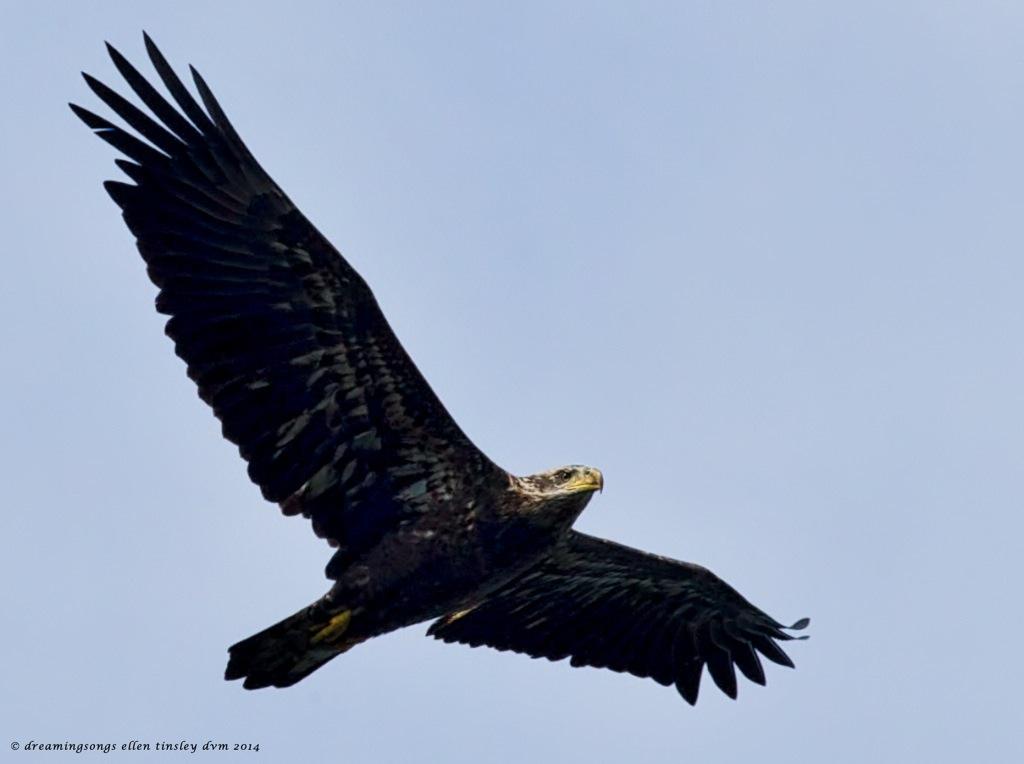 _RK_1279 eagle 3 yo 2014