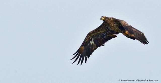 _RK_2157 2 yo eagle Poe 2014