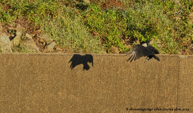 _RK_6881 black vulture catching shadow 2014