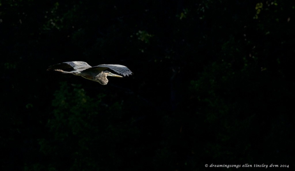_RK_7033 gbh in river bank shadows 2014