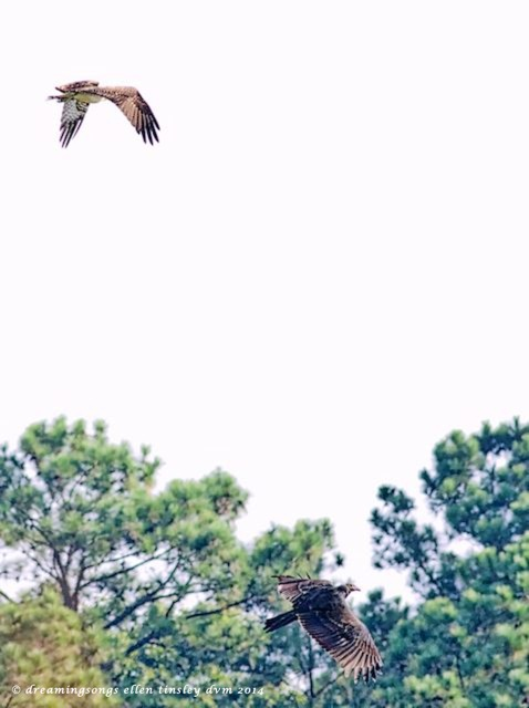 _RK_8410 Cadet and vulture sm sky 2014 (1)