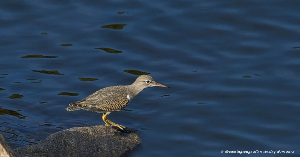 _RK_8736 spotted sandpiper 2014