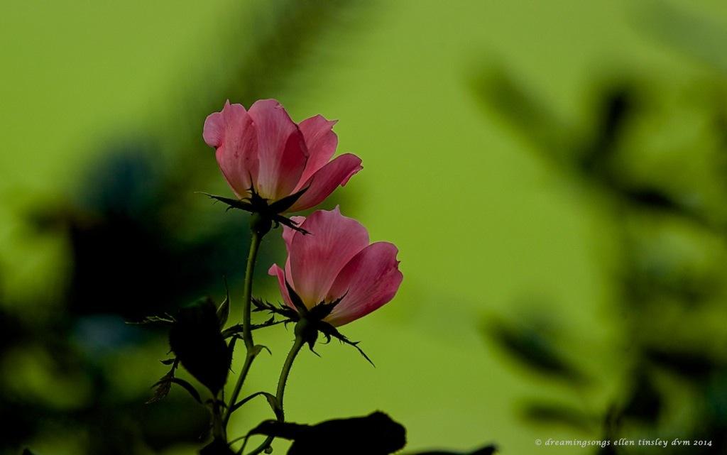 _RK_9422 rose underside
