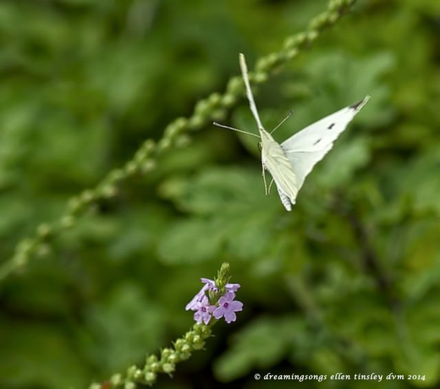 _RK_9499 white cabbage butterfly 2014 (1)