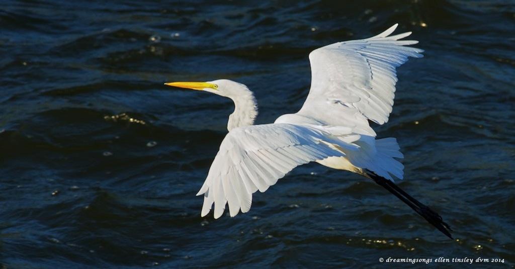 _RK_9606 egret flight med2014