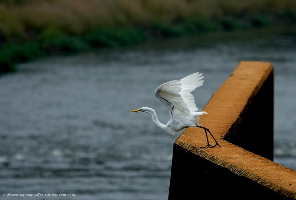 _RK_9796 double point egret med 2014