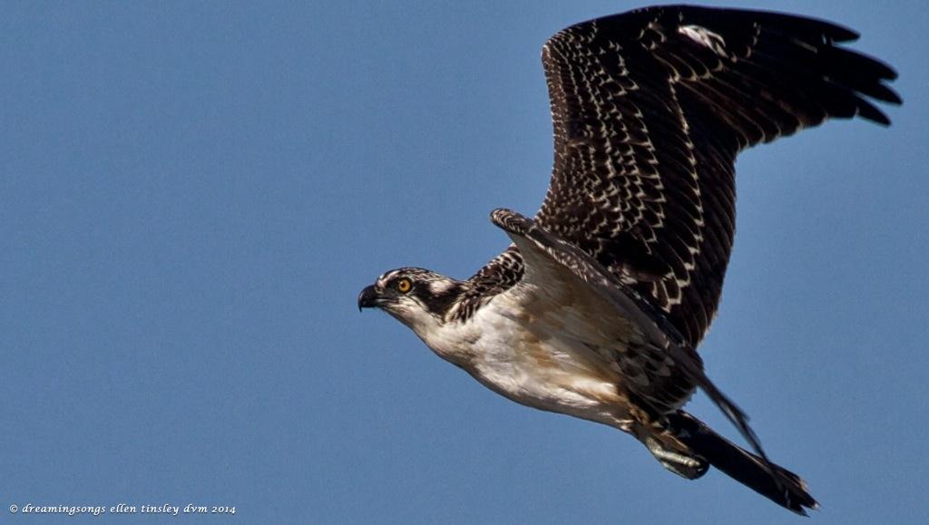 IMG_1969 imm osprey Cape Fear  2014