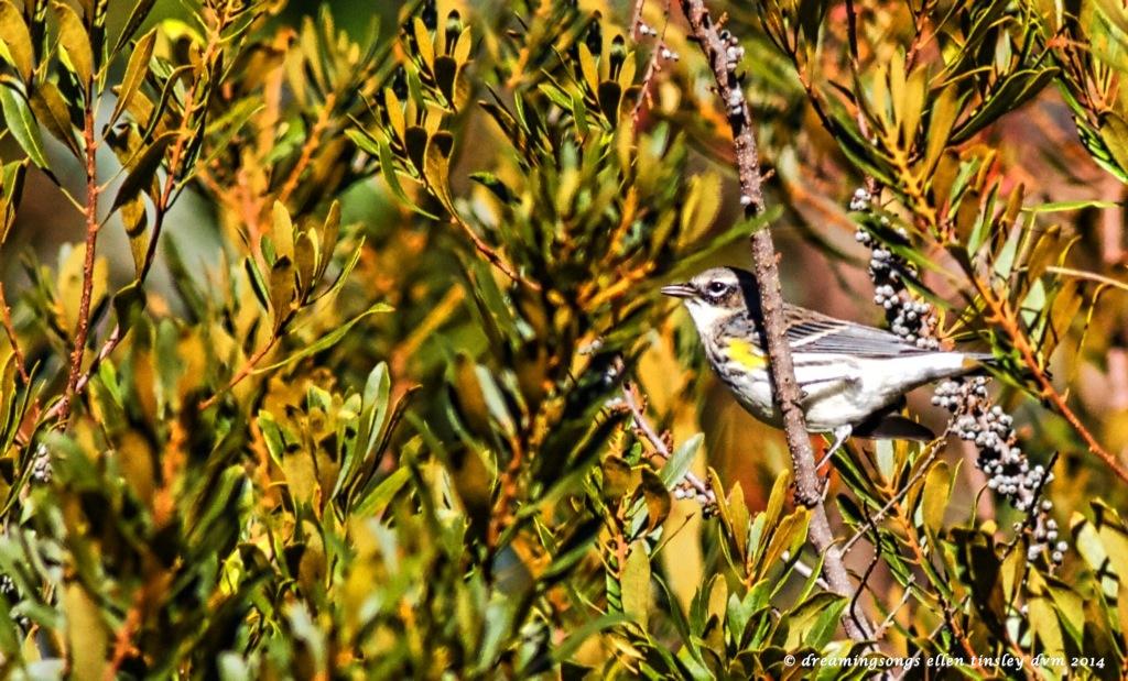 IMG_2462 yellow rumped warbler 2014 (1)
