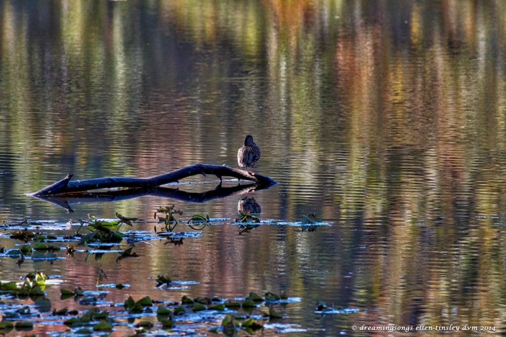 IMG_2473 mallard hen autumn glow 2014