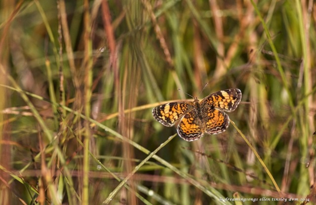IMG_2613 pearl crescent butterfly f 2014