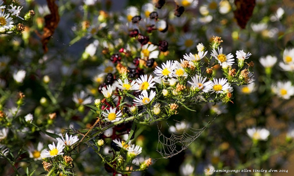IMG_2616 calico aster and web 2014 (1)