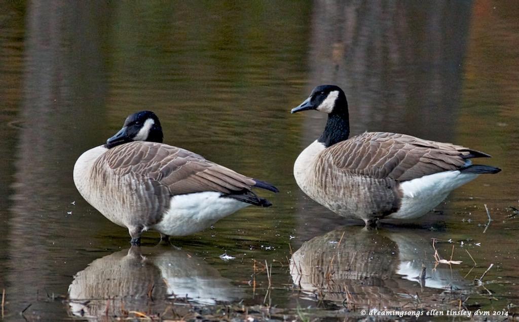 IMG_2651 Canada geese dozing 2014
