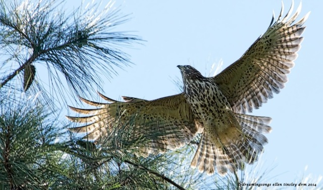 _RK_3126 imm red shoulder hawk 2014