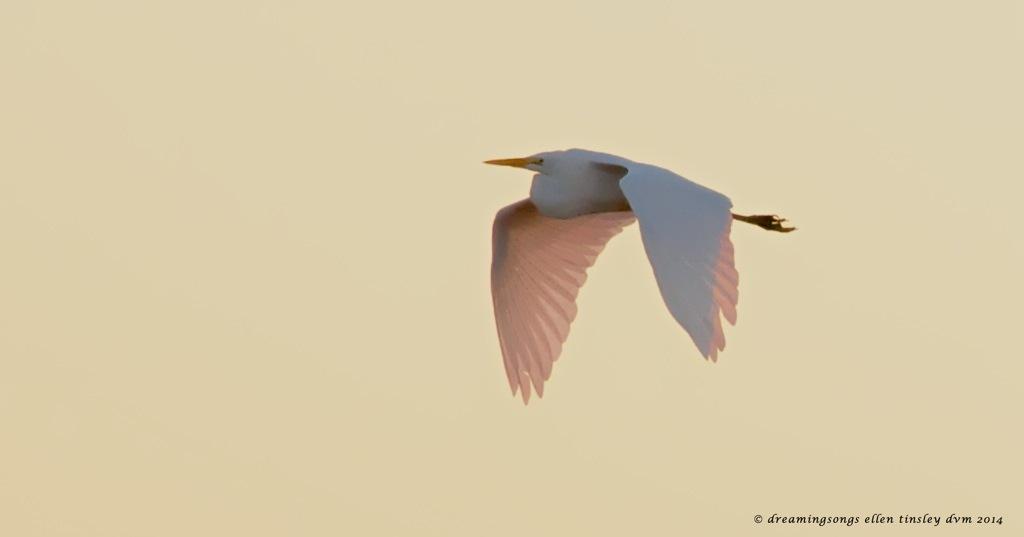 _RK_3190 yellow dawn pink egret2014