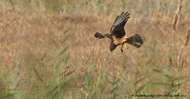 _RK_3424 northern harrier dive 2014