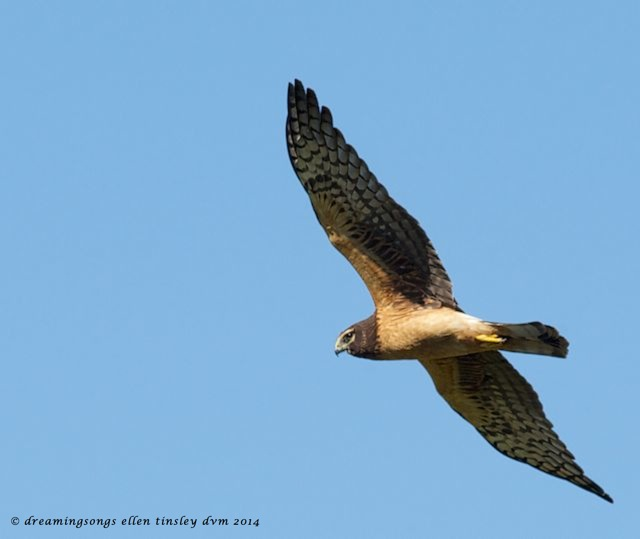 _RK_3433 northern harrier female flight sm 2014
