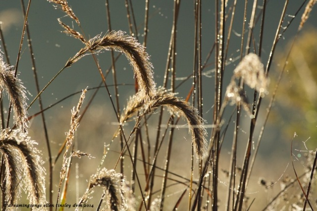 _RK_3624 grass foxtails dawn 2014