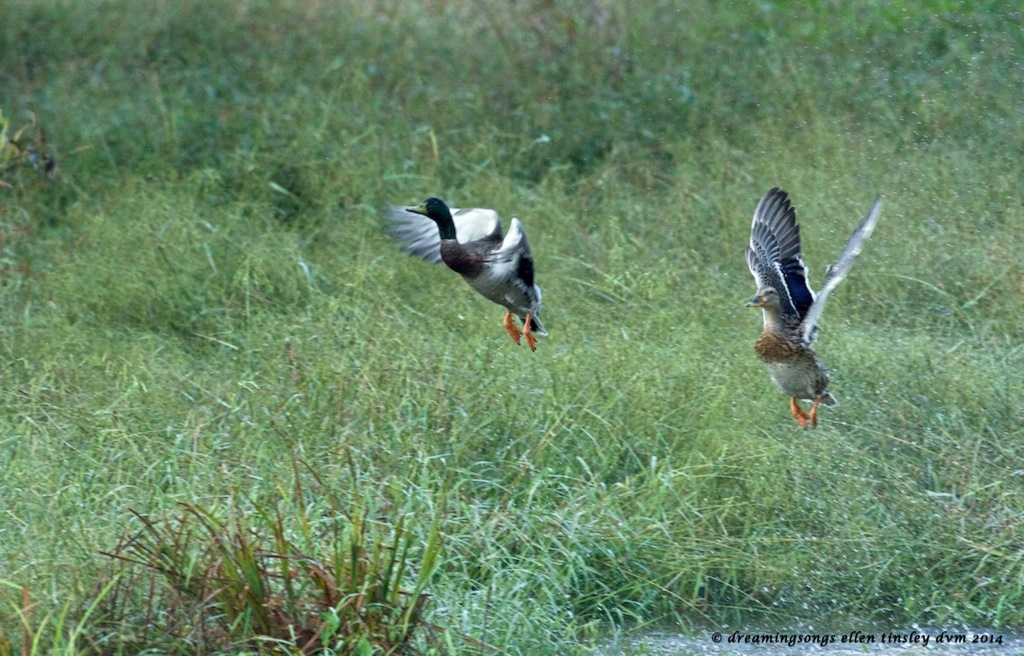 _RK_3752 mallard pair leave swamp 2014
