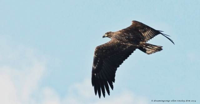 _RK_3897 2-3 yo eagle CJL 2014