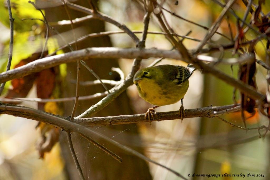 _RK_4116 pine warbler 2014