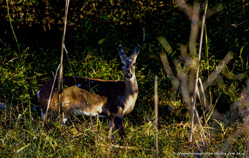 _RK_4318 young spotted doe2014
