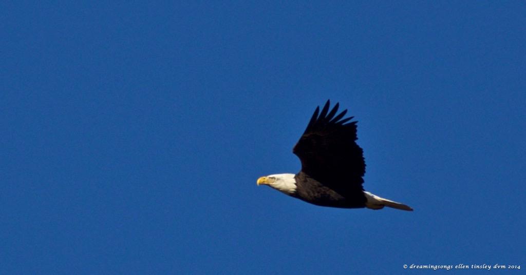 WALK0122 eagle face no challenge 2014