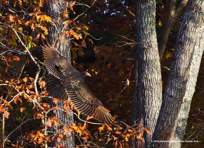 WALK0736 autumn vulture 2014