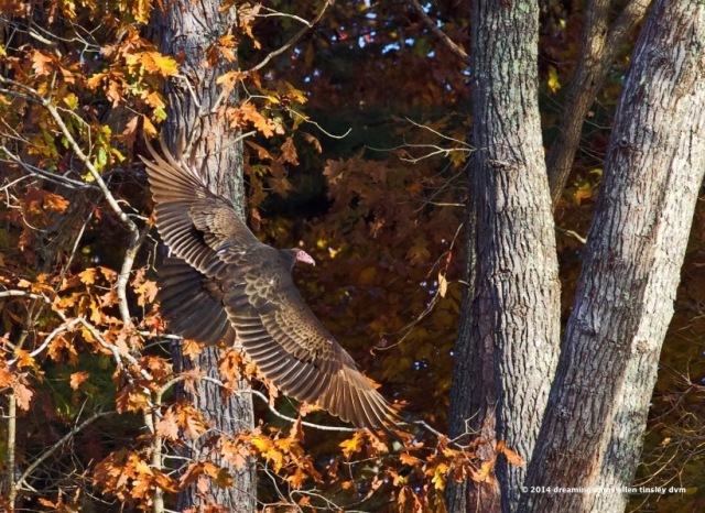 WALK0736 autumn vulture 2014