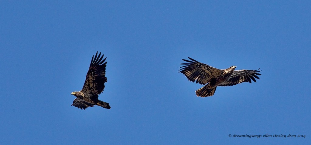 WALK1339 two immature eagles soaring 2014