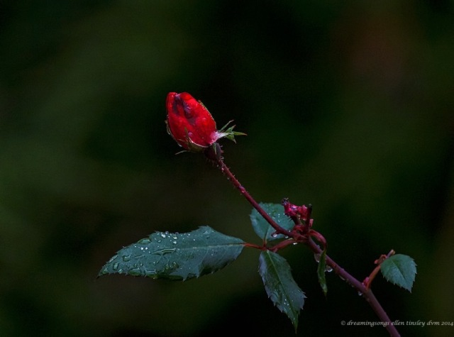 WALK1576 red autumn rose 2014