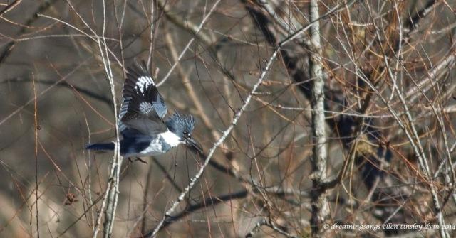 WALK1822 kingfisher 1 step off perch 2014