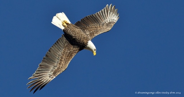 WALK2114 2nd adult eagle Yates Mill 2014