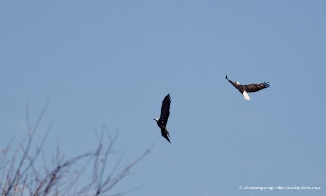 WALK2120 pr adult eagles Yates Mill 2014
