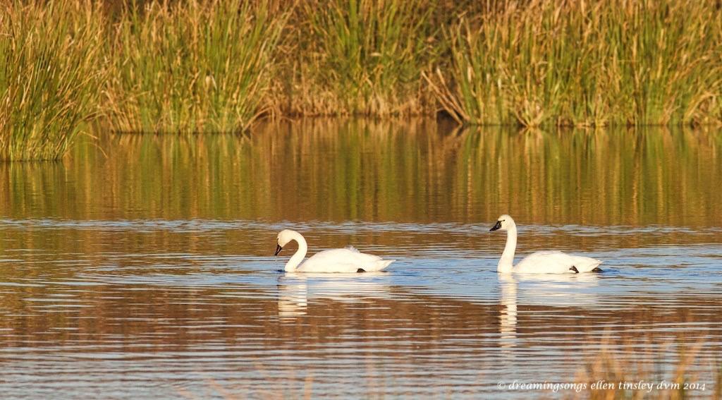 WALK2238 serenity tundra swans 2014