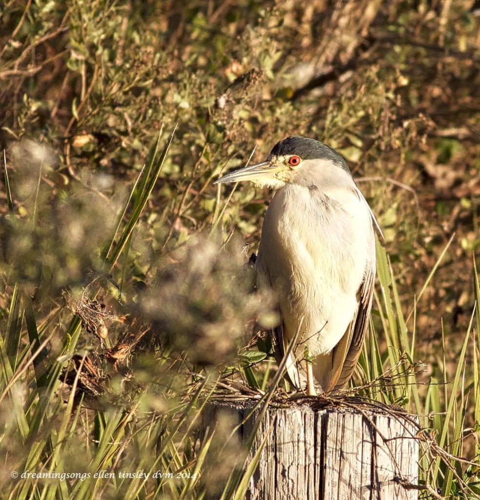 WALK2273 black-crowned night-heron 2014