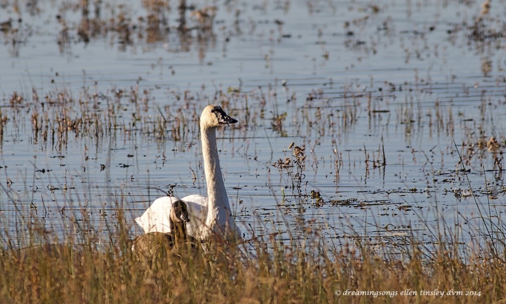 WALK2385 tundra swan and Canada goose 2014