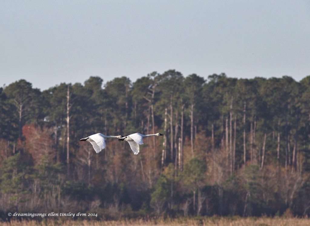 WALK2408 tundra swan pair 2014