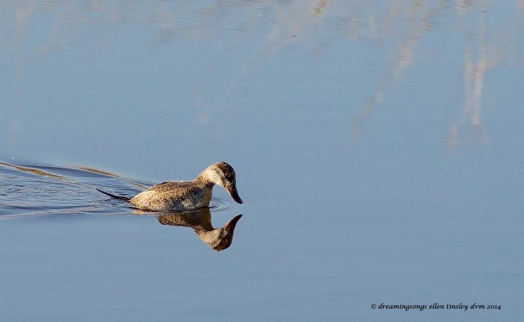 WALK2459 ruddy duck reflection 2014