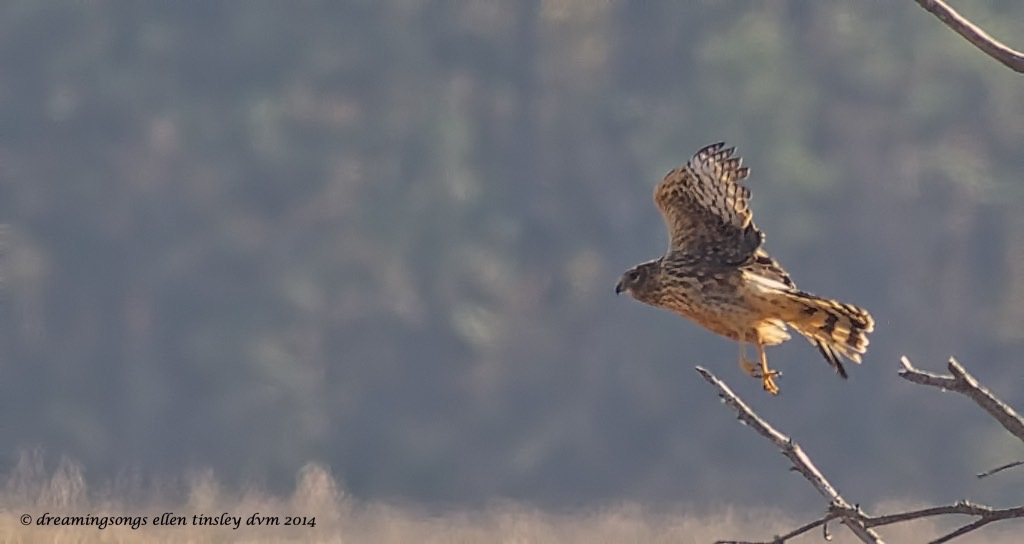 WALK2567 female harrier Mattamuskeet 2014