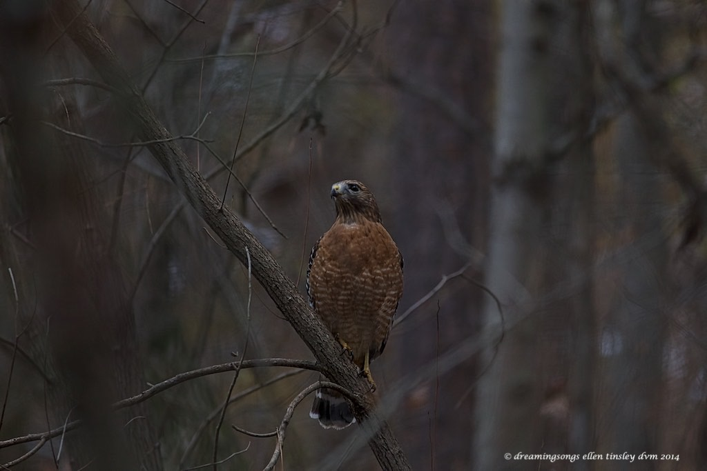 WALK2926 red-shouldered hawk Yates Mill2014