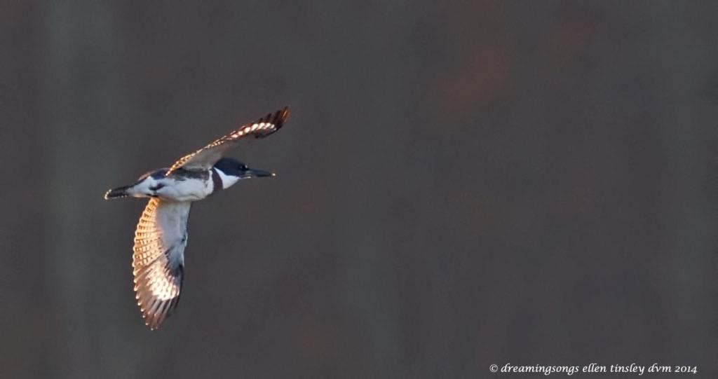 WALK3822 kingfisher wings sun trapped 2014