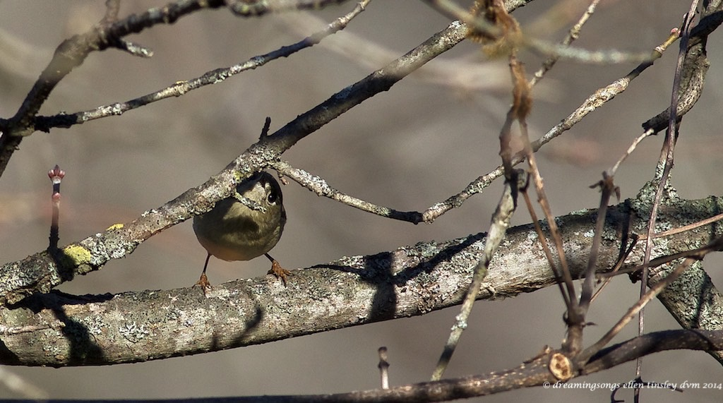 WALK3946 ruby kinglet shy 2014