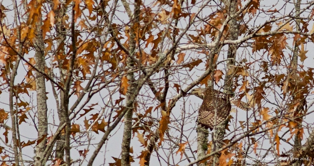 find the hawk