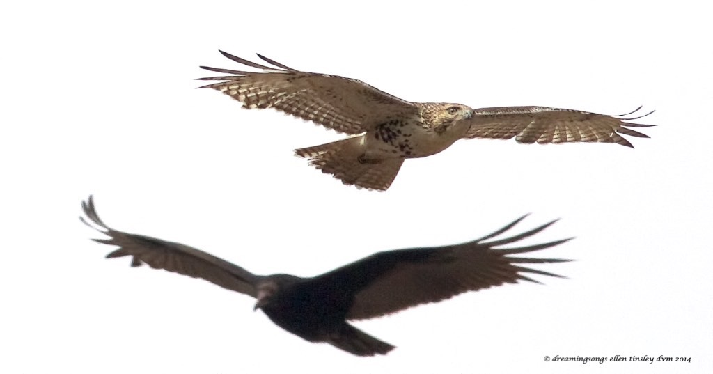 WALK4334 red tail and turkey vulture 2014